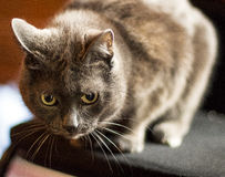 tomcat Стоковые Изображения