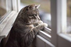 tomcat Стоковое Изображение RF