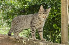 Tomcat aux cheveux courts domestique dans l'amour photos stock