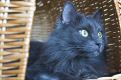 Tomcat in the basket Stock Image