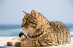 Tomcat on beach. Royalty Free Stock Photo