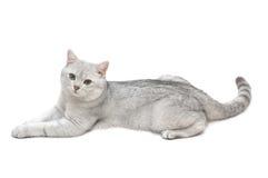 Tomcat británico del shorthair Imágenes de archivo libres de regalías