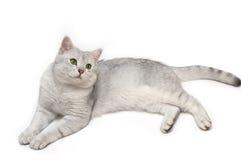 Tomcat británico del shorthair Imagen de archivo libre de regalías