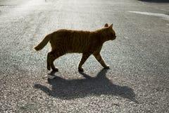 Tomcat che attraversa la via fotografia stock