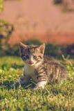 Tomcat con bianco e la pelliccia del soriano si siede su erba verde fotografia stock libera da diritti