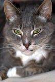 Tomcat con el foco en la cara fotografía de archivo