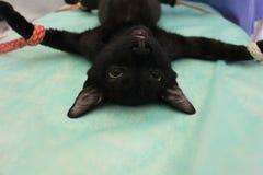 Tomcat dans l'anesthésie - chirurgie vétérinaire image libre de droits