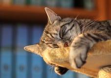 Tomcat, die in het bureau rusten Stock Fotografie