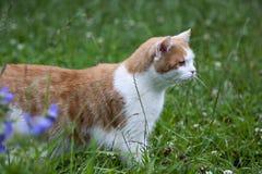 Tomcat Gingery fotografia stock libera da diritti