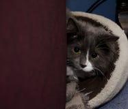 Tomcat in het wachten Stock Fotografie