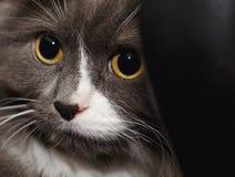 Tomcat in het wachten Royalty-vrije Stock Afbeelding