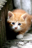 Tomcat kitten sneaking Royalty Free Stock Photography