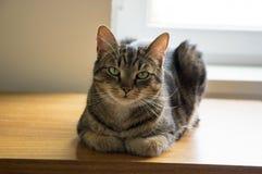 Tomcat lying on the beach na drewnianym stole z poważnym wyrażeniem, kontakt wzrokowy fotografia stock