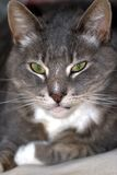 Tomcat mit Fokus auf dem Gesicht Stockfotografie