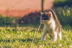 Tomcat mit Weiß und Pelz der getigerten Katze geht auf grünes Gras Stockfotografie
