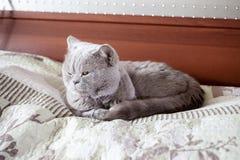 Tomcat na łóżku jest łgarskim puszkiem zdjęcie stock
