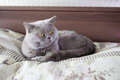 Tomcat na łóżku jest łgarskim puszkiem brytyjczycy shorthair zdjęcia royalty free