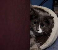 Tomcat nell'attesa fotografia stock