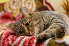 Tomcat paresseux images stock