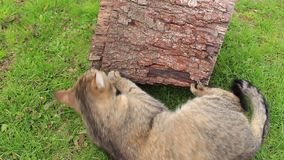 Tomcat played with stump. Beautiful tomcat played with stump stock video footage