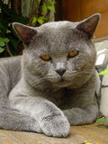 Tomcat portrait. Bored tomcat (Chartreux cat or British Blue Cat Royalty Free Stock Photo