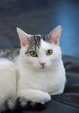 Tomcat portret obrazy stock