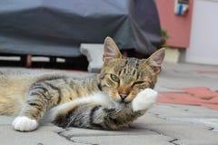 Tomcat przygotowywa lizać jego frontową nogę Zdjęcia Royalty Free
