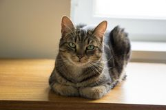 Tomcat que miente en la tabla de madera con la expresión seria, contacto visual fotografía de archivo
