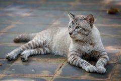 Tomcat que mira algo imagen de archivo libre de regalías