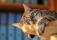 Tomcat, resting in the office Stock Photography
