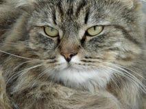 Tomcat sérieux image libre de droits
