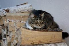 Tomcat se trouve sur le tas de bois Images stock