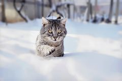 Tomcat in the snow. My tomcat was playing in the snow last winter stock photo