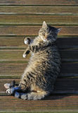 Tomcat sunbathing. Royalty Free Stock Image
