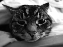 Tomcat Tabby, zwierzę domowe -/ zdjęcia stock