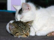 Tomcat viejo y gato joven imagen de archivo