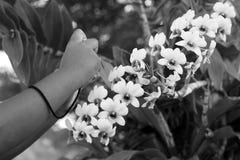 Tome a foto las flores blancas hermosas de Ochid en el jardín Imágenes de archivo libres de regalías