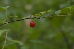 Tomentosa сливы ягоды Стоковые Изображения RF