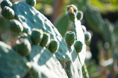 Tomentosa d'opuntia Photographie stock