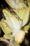 Tomentosa de Kalanchoe images stock