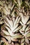 Tomentosa de Kalanchoe photos stock