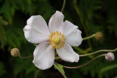 Tomentosa de la anémona del arácnido de la anémona una flor fotografía de archivo libre de regalías