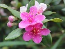 Tomentosa de Rhodomyrtus Foto de Stock Royalty Free