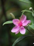 Tomentosa de Rhodomyrtus Imagens de Stock Royalty Free