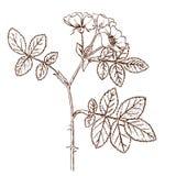 tomentosa de rosa Images libres de droits