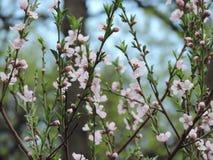 tomentosa för sky för prunus för bakgrundsfilialCherry Royaltyfri Bild