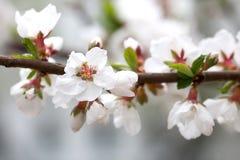 Tomentosa Prunus κερασιών άνθησης Nanking Όμορφος άσπρος αποβαλλόμενος θάμνος πετάλων, σκηνή κήπων άνοιξης Μακρο άποψη στοκ φωτογραφία με δικαίωμα ελεύθερης χρήσης