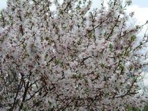 Tomentosa Prunus κερασιών του Nanking, κορεατικό κεράσι, κεράσι Manchu, downy κεράσι, κινεζικό κεράσι, κινεζικό κεράσι, κινεζικό  Στοκ Φωτογραφίες