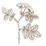tomentosa Rosa Στοκ εικόνες με δικαίωμα ελεύθερης χρήσης