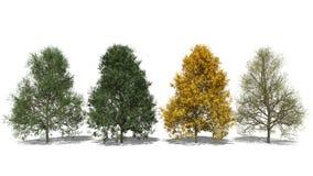 Tomentosa Tilia (Four Seasons) Στοκ Φωτογραφίες